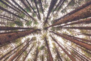 Forêt-Pins-Landes